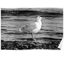 BW Side View Seagull Poster