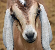 Young Goat by Savannah Gibbs