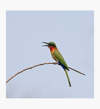 Red-throated Bee-eater with bill open Photographic Print