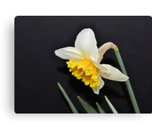 Lovely White and Yellow Daffodil Canvas Print