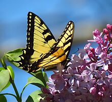 Lilacs and Swallowtails by ChuckBuckner