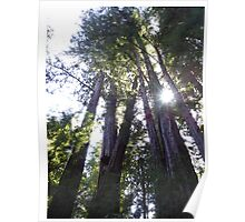 Henry Cowell Redwoods 03.05.2015 836 Poster