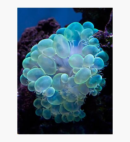 Bubble coral Photographic Print
