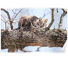 Morning Bobcat Poster
