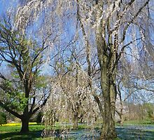 Weeping Cherry Trees by Betty Mackey