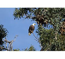 Bald Eagle on a Sunny Day Photographic Print