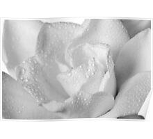 White Gardenia Blossom Isolated Poster