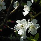Plum Blossoms by Kashmere1646
