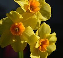 Pretty spring yellow daffodil flowers photo art. by naturematters