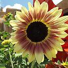 Sunflower Close-up, Santa Fe, New Mexico by lenspiro