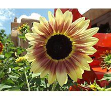 Sunflower Close-up, Santa Fe, New Mexico Photographic Print