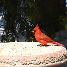 Cardinal of Spring by MarianBendeth