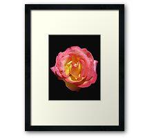 Sunlit 'Sugar Pink' Rose on Black Background Framed Print