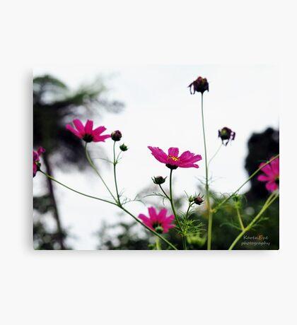 Pink Anemones Canvas Print