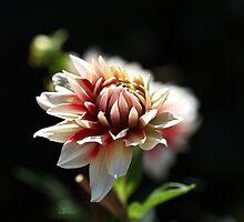 Love For Dahlia by Joy Watson