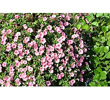 Beautiful spring bush with pink flowers. Photographic Print