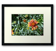 Orange flower and green leaves background. Framed Print