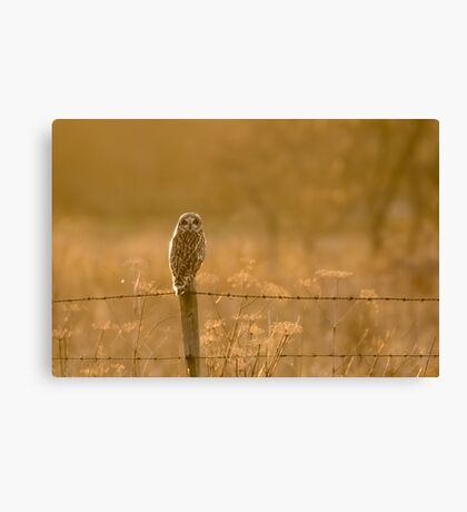 Short-eared Owl (Asio flammeus) Canvas Print