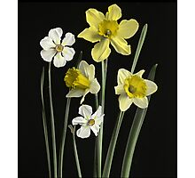 Narcissi of several kinds, Daffodils, Poet's Nar  Photographic Print