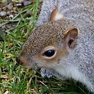 up close - squirrel by Perggals© - Stacey Turner
