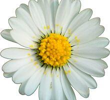White daisy by ghjura