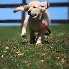 """""""Golden Retriever Puppy On The Run..."""" by Laurie Minor"""