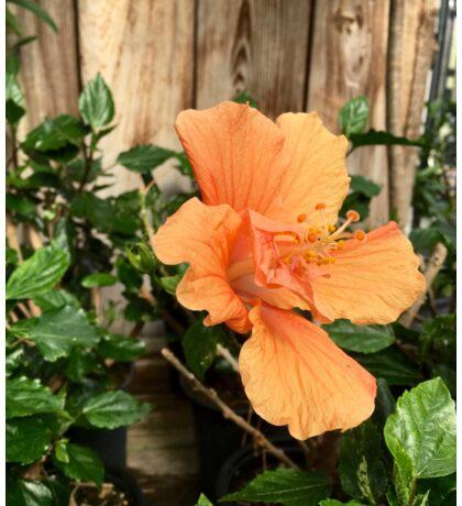 Peach Hibiscus Sticker