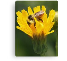 Bumblebee Dive Canvas Print