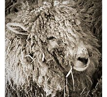Sheep resting in the lambing shed Photographic Print