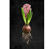 Pink Hyacinth Hydroponics (Tryptic 3/3) Photographic Print