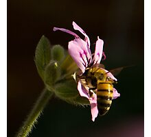 The pollinator Photographic Print