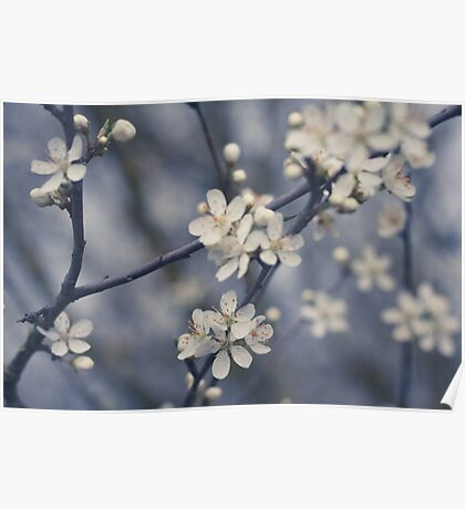 beautiful white cherry flower blossom - cherry tree flower Poster