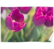 purple tulips macro - beautiful flower closeup Poster