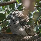 Tawny frogmouth outside library Leith Park Victoria 20151215 6474 by Fred Mitchell