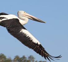 Australian Pelican Sticker