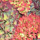 Autumn Hydrangea flowers, in greens, russets and purples. by Mary Taylor