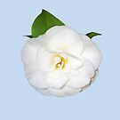 White Camellia flower with green leaf. by Mary Taylor