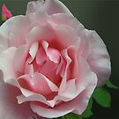 Large Pink Full Blown Rose by Mary Taylor