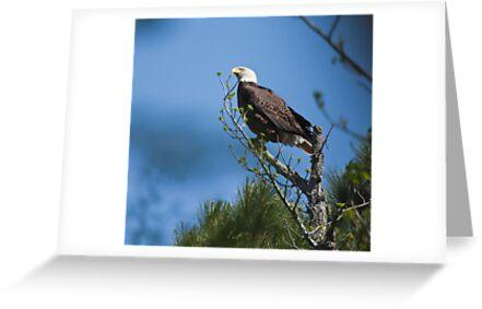 Guard Duty II,   Bald Eagles, Jordan lake, NC by Denise Worden
