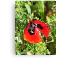 The poppy and the grasshopper Canvas Print