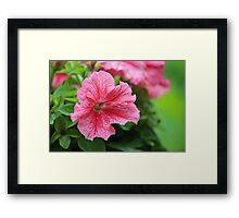 Pink Petunia Framed Print