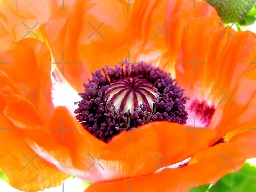 poppy by webgrrl