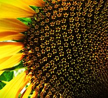 Sunflower in my backyard.. by webgrrl