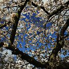Cherry Blossom - Spring Time by Themis