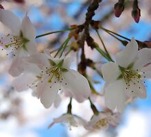 Cherry Blossom and Blue Sky by Themis