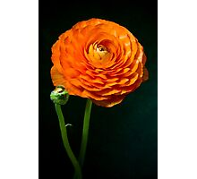 Red ranunculus flower head. Photographic Print