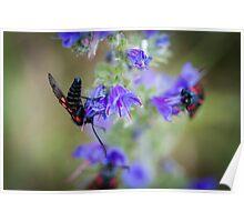 Five spot Burnet moths on wild flowers Poster