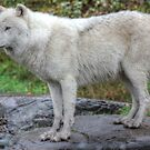 Arctic Wolf HDR by Vicki Spindler (VHS Photography)