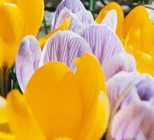 Springtime Crocuses - Diana 120mm Photograph Sticker