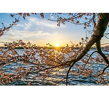 Sun Down for the Cherry Blossoms Photographic Print